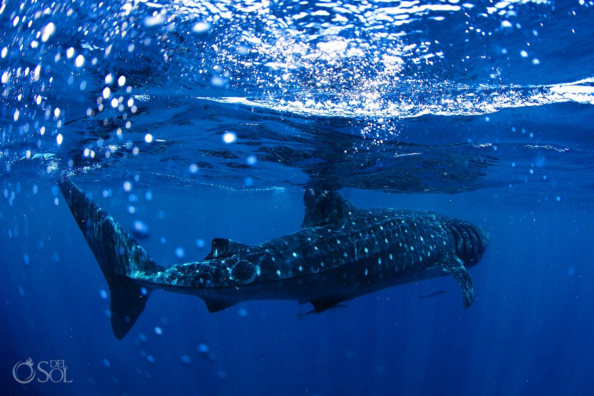Isla Holbox snorkeling with whale sharks