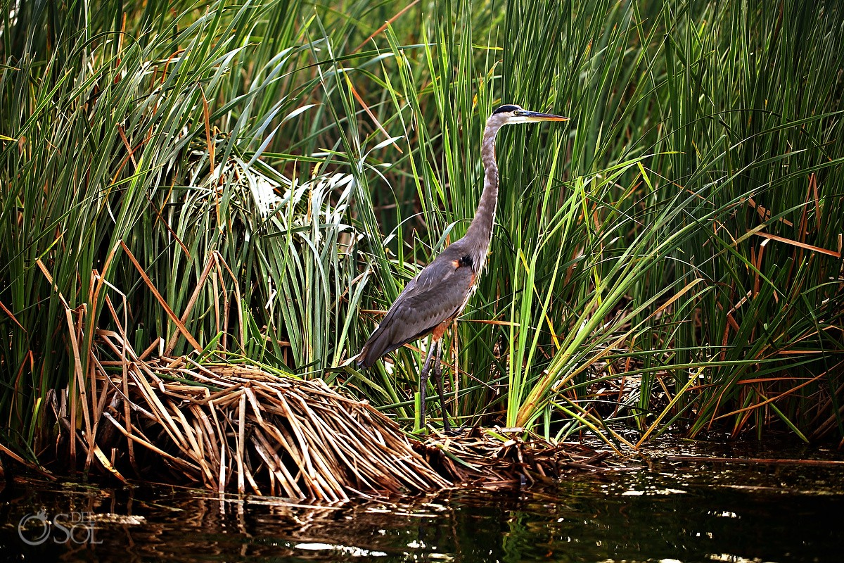 Great Blue Heron at Rosewood Mayakoba