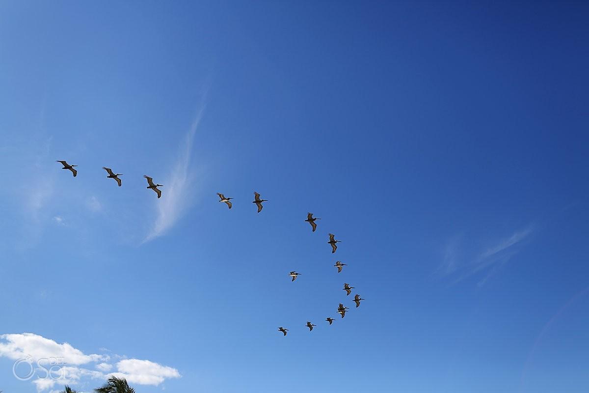 Pelicans flying in a vee