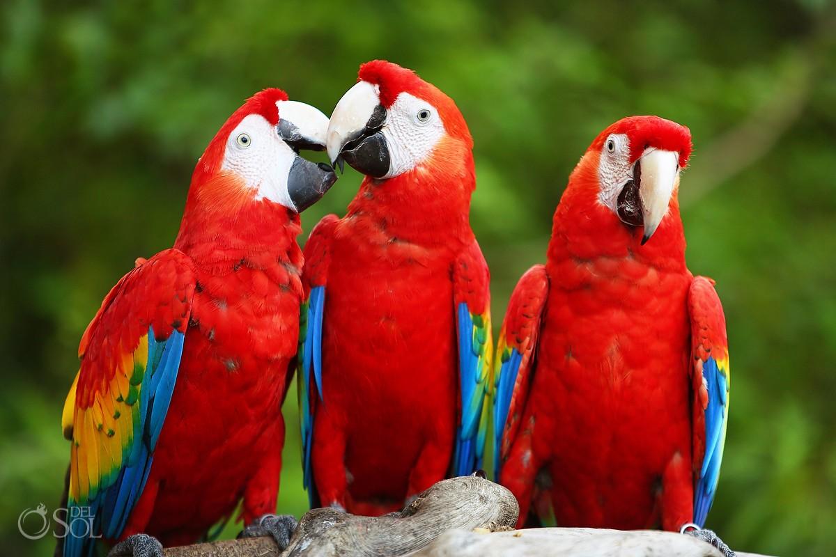 Guacamayas red macaws