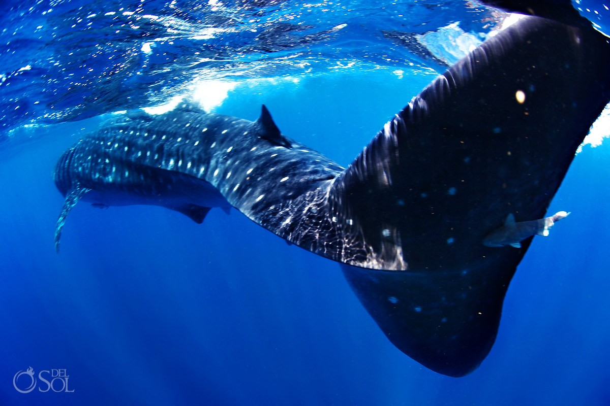 Swimming with whale sharks Isla Mujeres