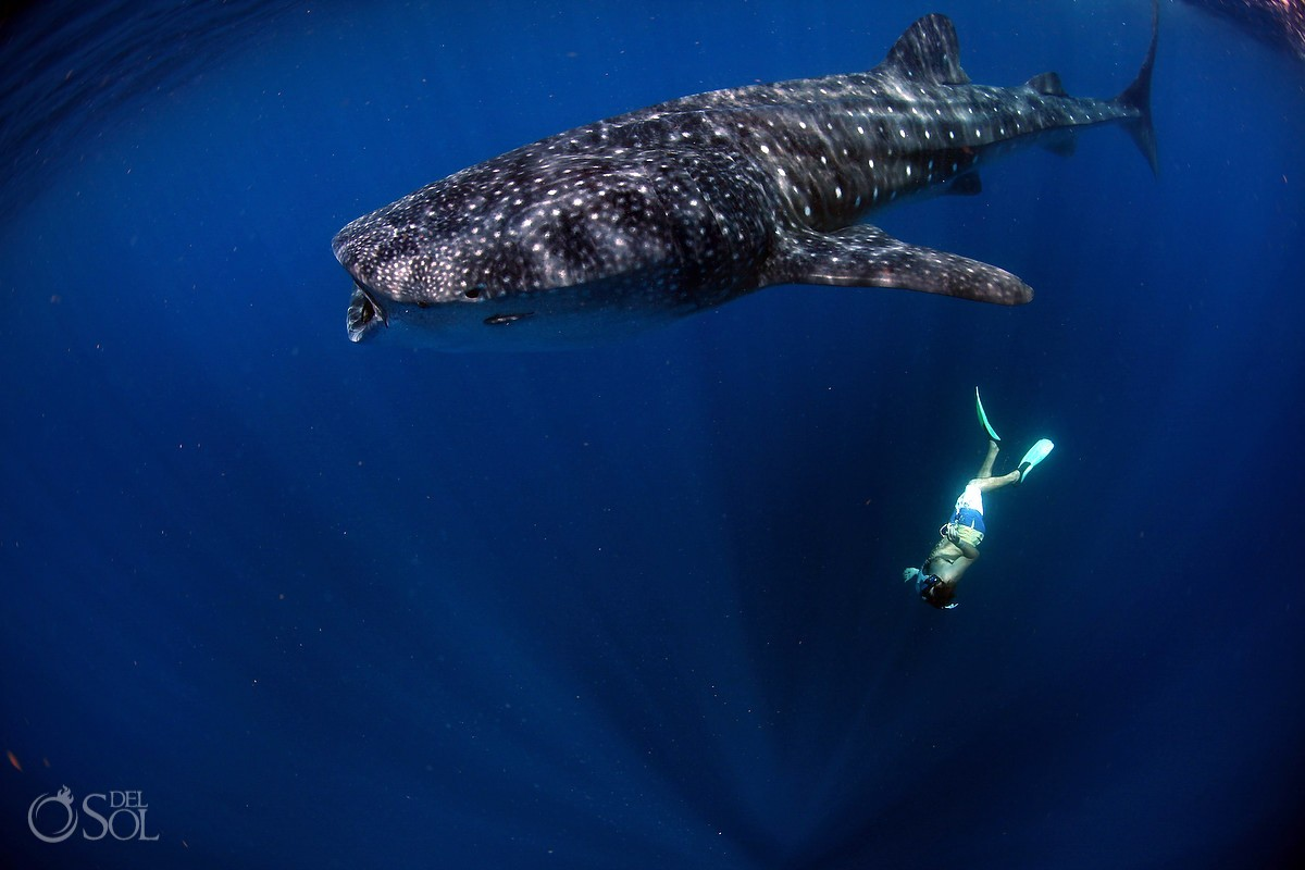 Swimming with whale sharks Cancun