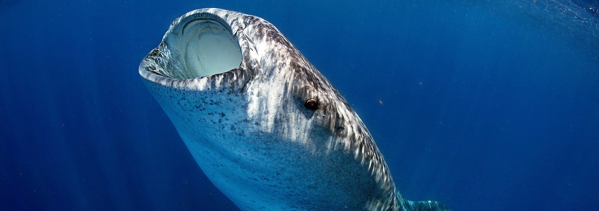 Whale Shark Photography workshop Isla Mujeres Mexico