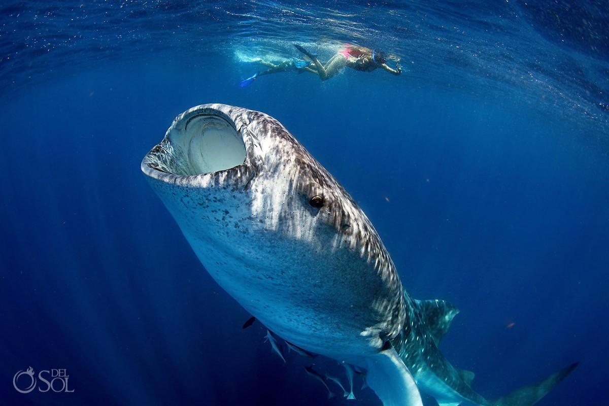 Bottling whale shark Yucatan