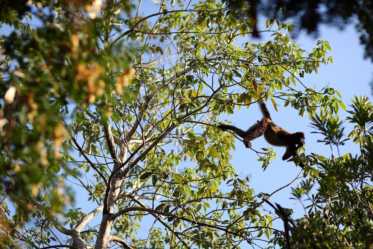 Monkey in tree Riviera Maya Viceroy Hotel