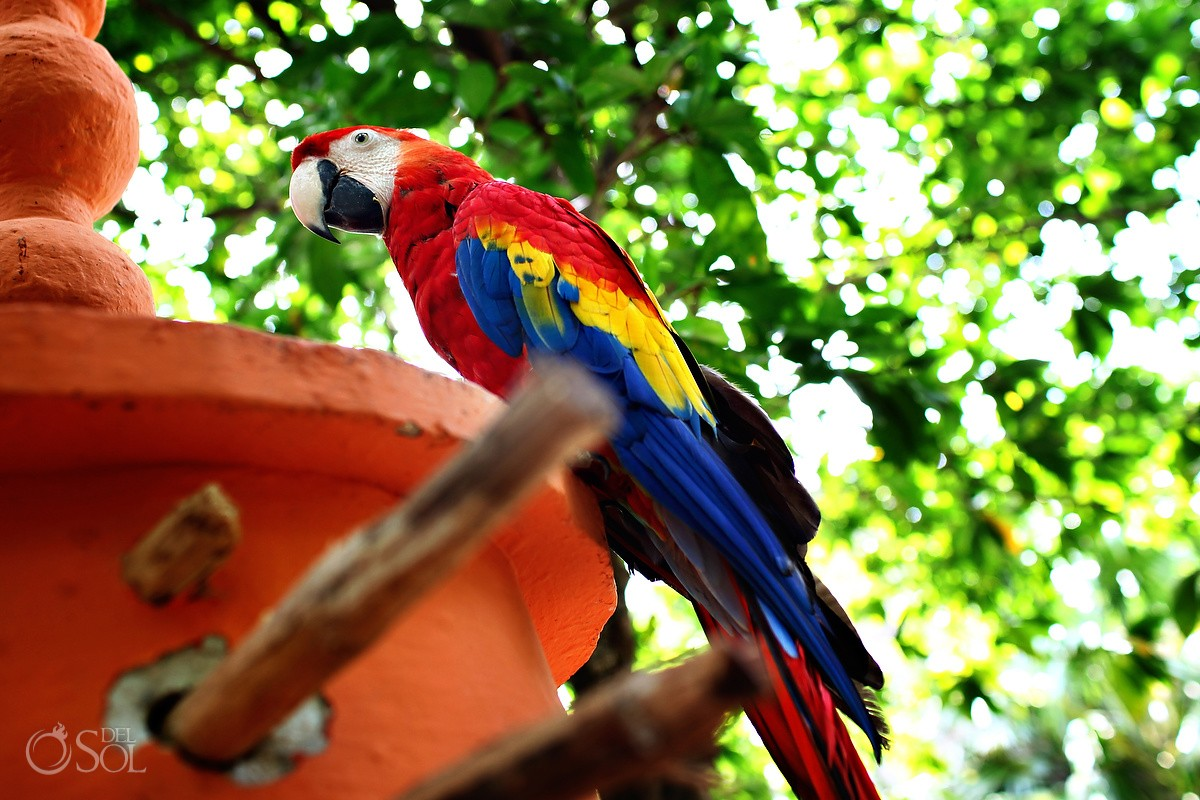 Scarlet Macaw at the Belmond Maroma Resort and Spa