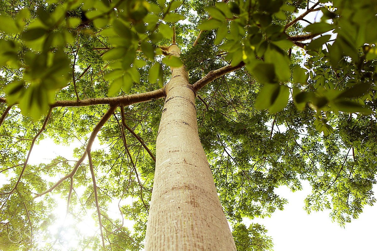 the ceiba tree was considered a sacred tree by ancient mayan civilizations