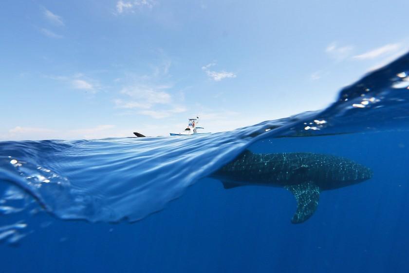 whale shark half and half photograph by matt adcock