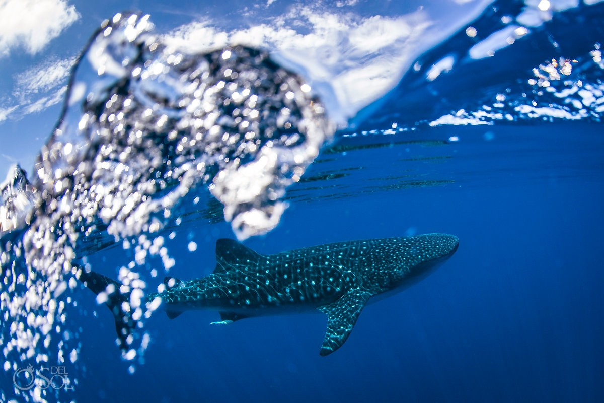 Mexico Whale Shark Photography workshop Isla Mujers Cancun with Matt Adcock from Del Sol Photography