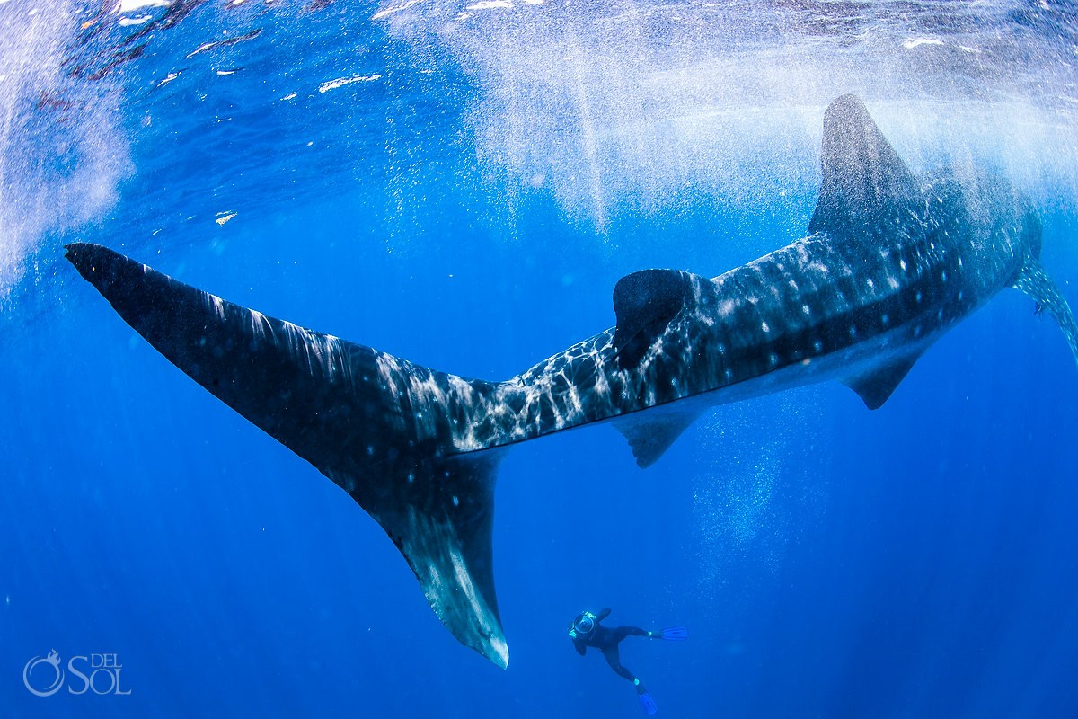 whale shark with freediver matt adcock