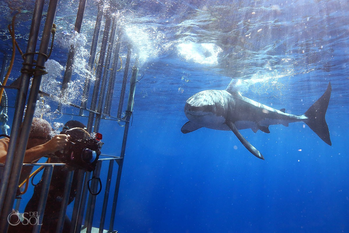 Divers Great white shark cage dive, Guadalupe Island, Mexico.