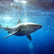 Great white shark dive #Aworldofitsown light rays blue water, Guadalupe Island, Mexico.
