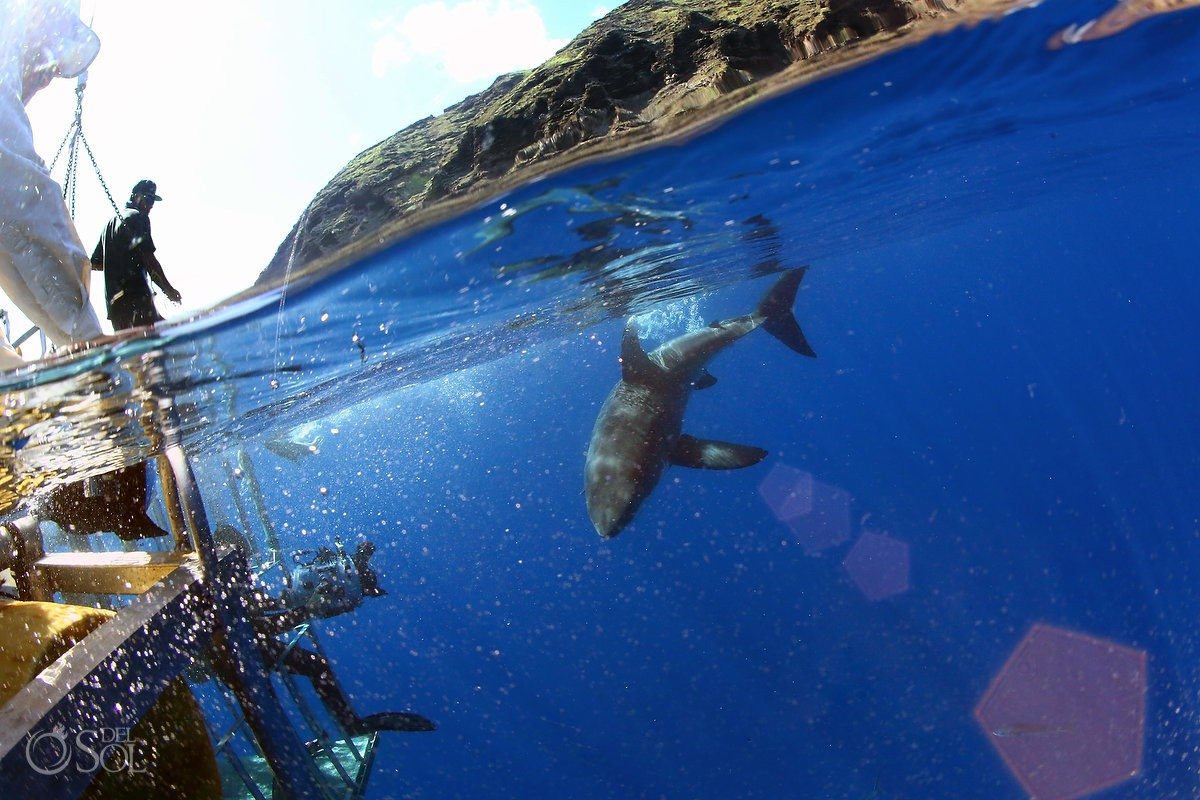 Great white shark cage dive split mountain, Guadalupe Island, Mexico