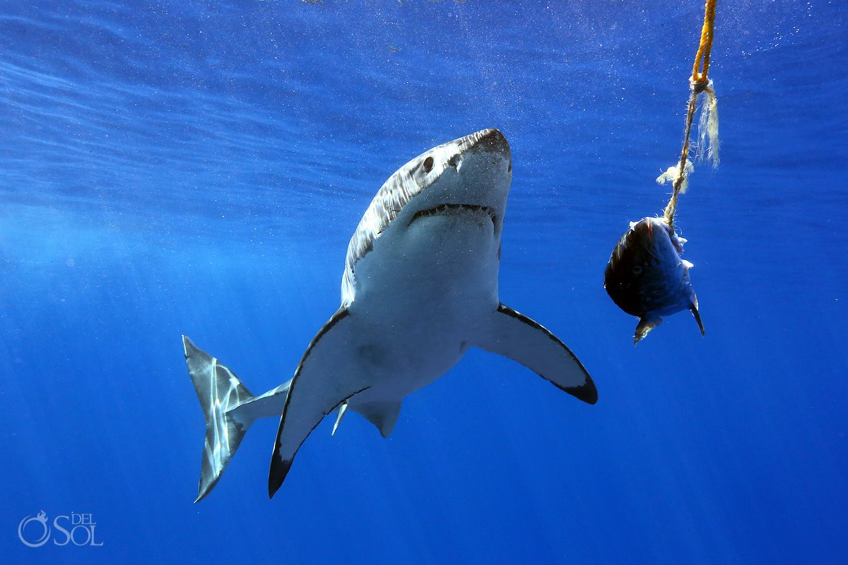 Great white shark eating feeding cage dive, Guadalupe Island, Mexico.