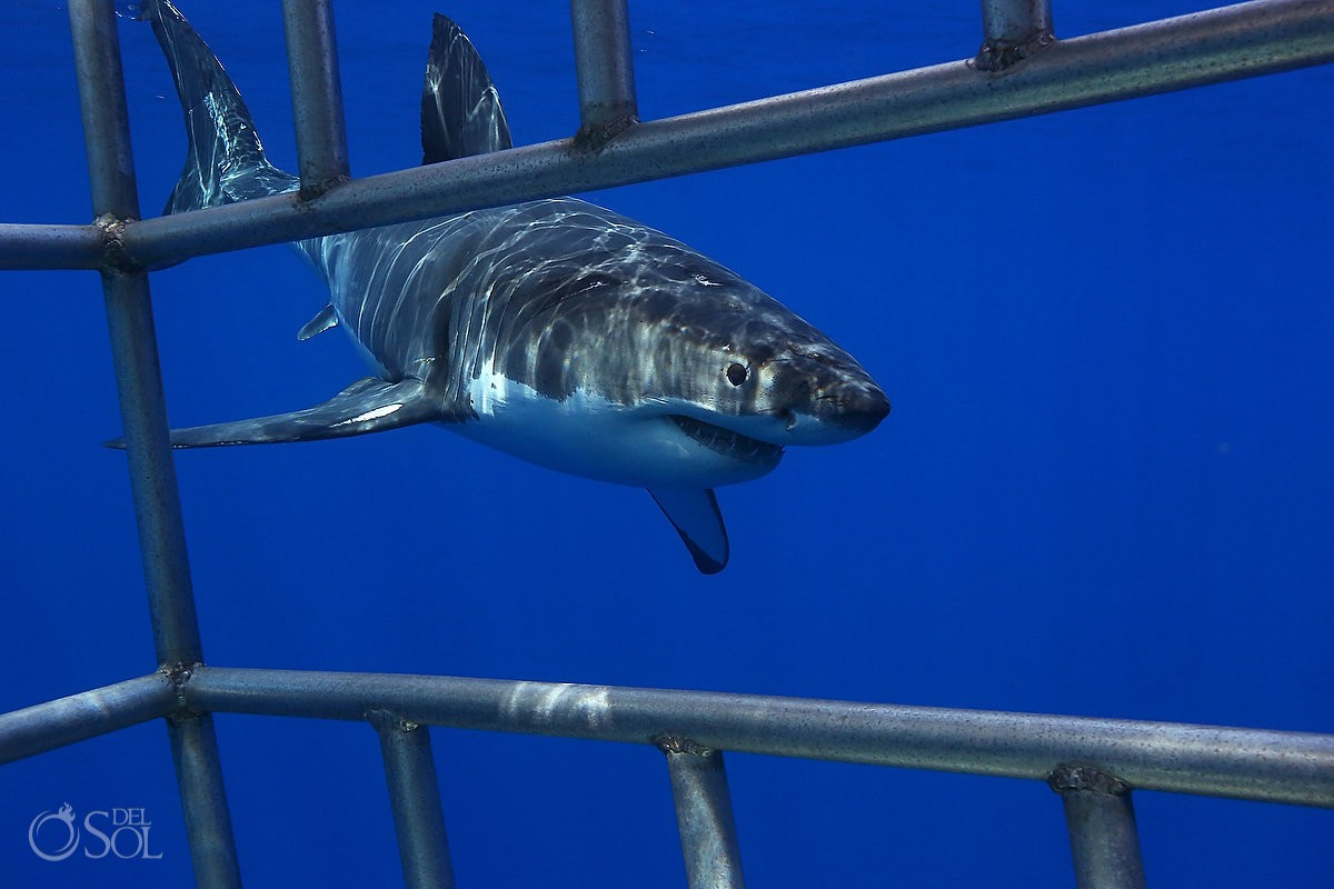Great white shark cage dive, Guadalupe Island, Mexico.