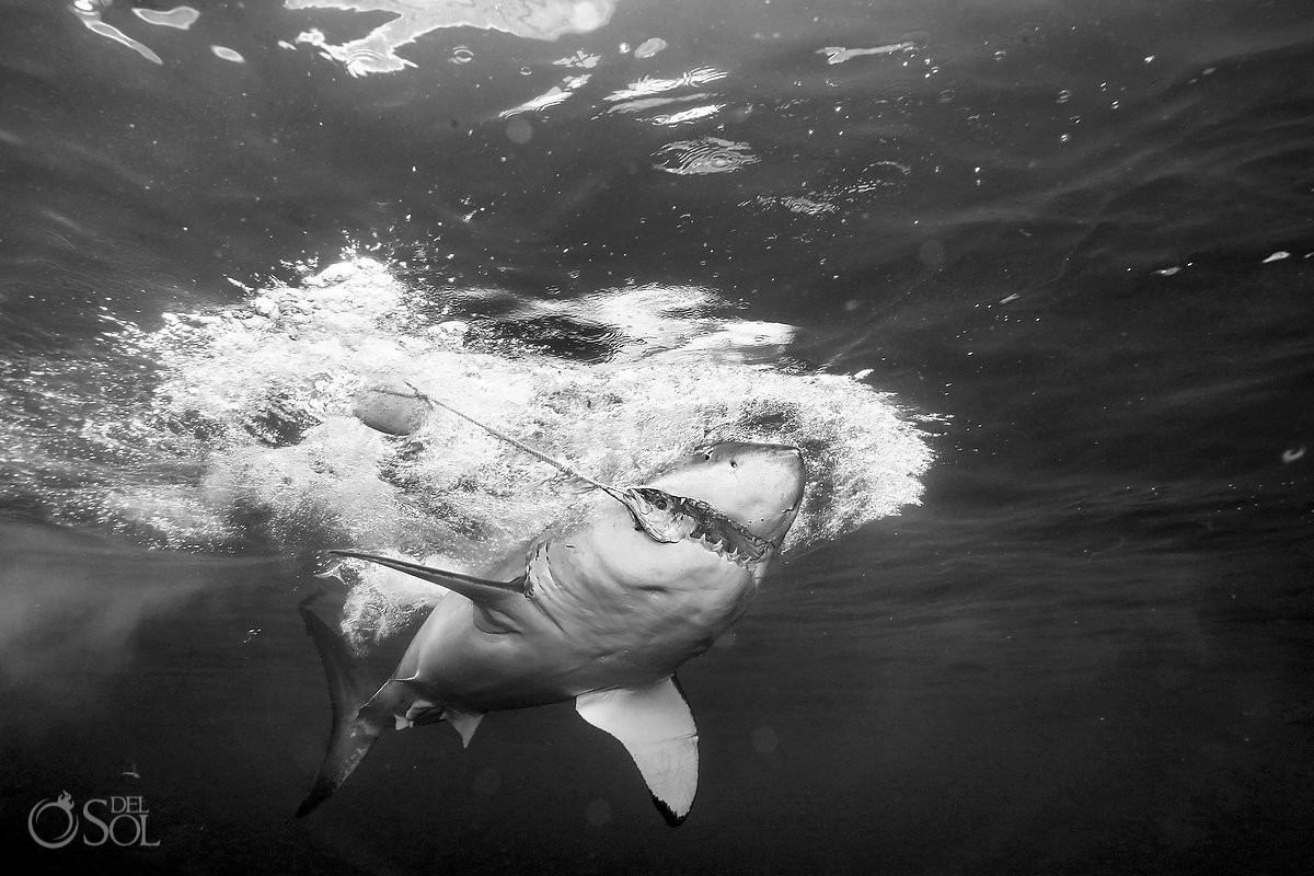 Great white shark eating feeding black white, Guadalupe Island, Mexico