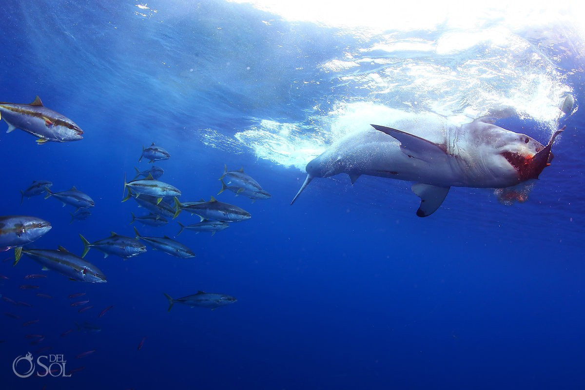 Great white shark eating feeding blood, Guadalupe Island, Mexico