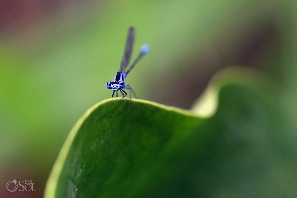 Blue dragon fly macro photography