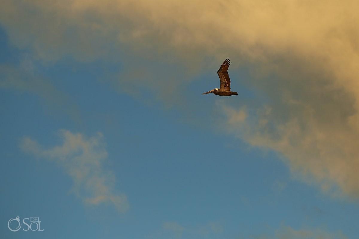 Pelican flying sunset IntraAwareness Commercial shoot, portraits Isla Blanca, Cancun