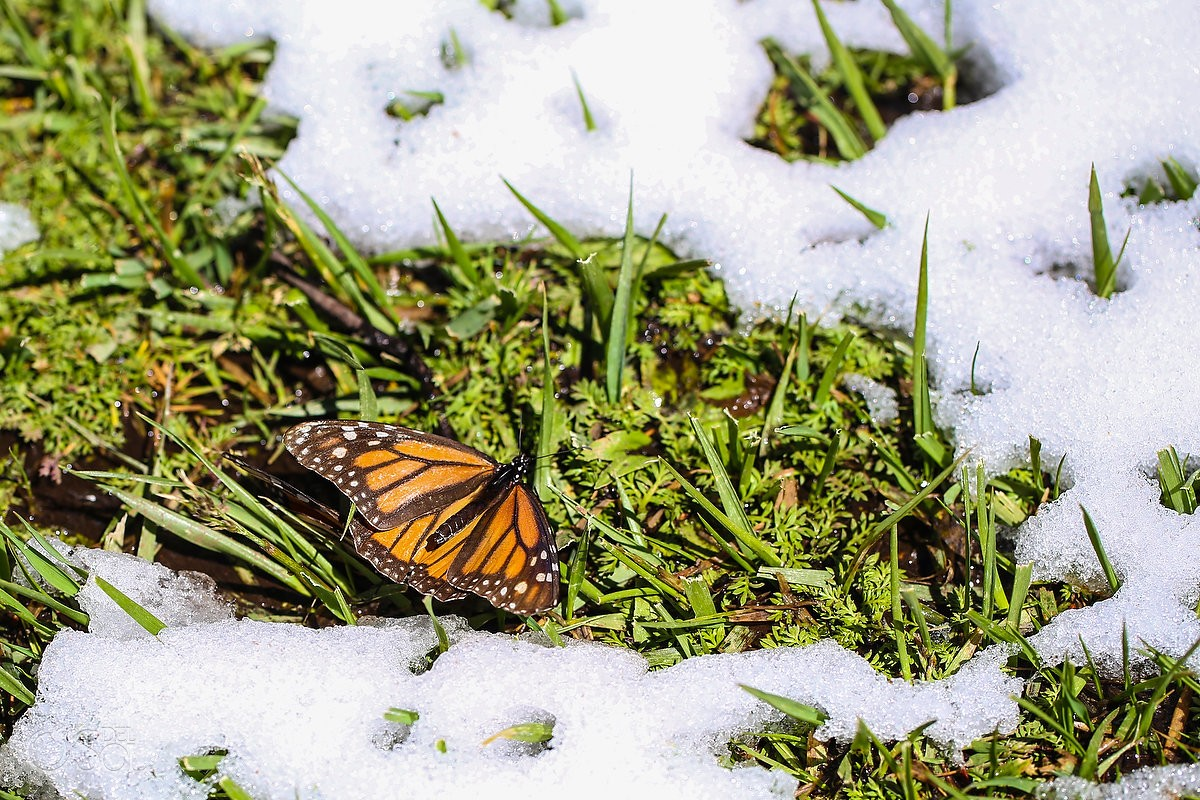 monarch butterfly lying on grass snow, Travel photography Michoacan