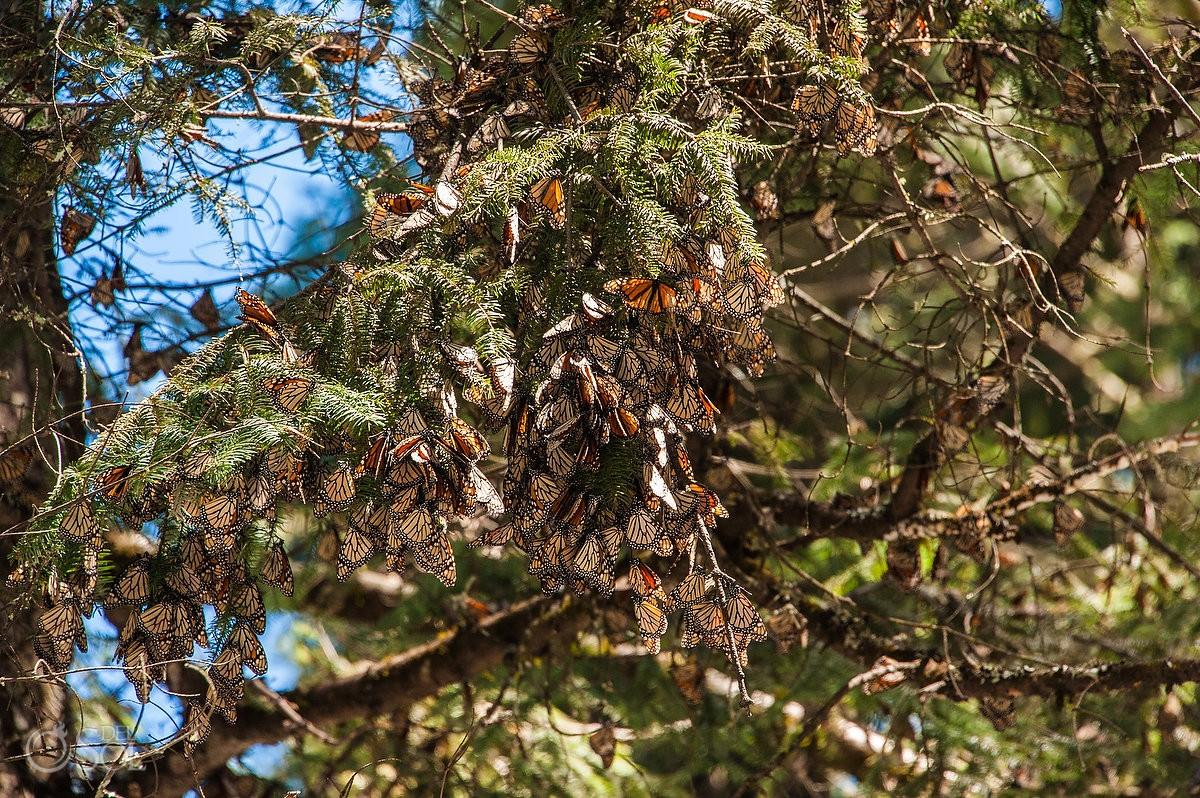 Morarch butterflies hanging tree branches Michoacan, Reserva de la Biosfera Mariposa Monarca, Monarch Butterfly Biosphere Reserve