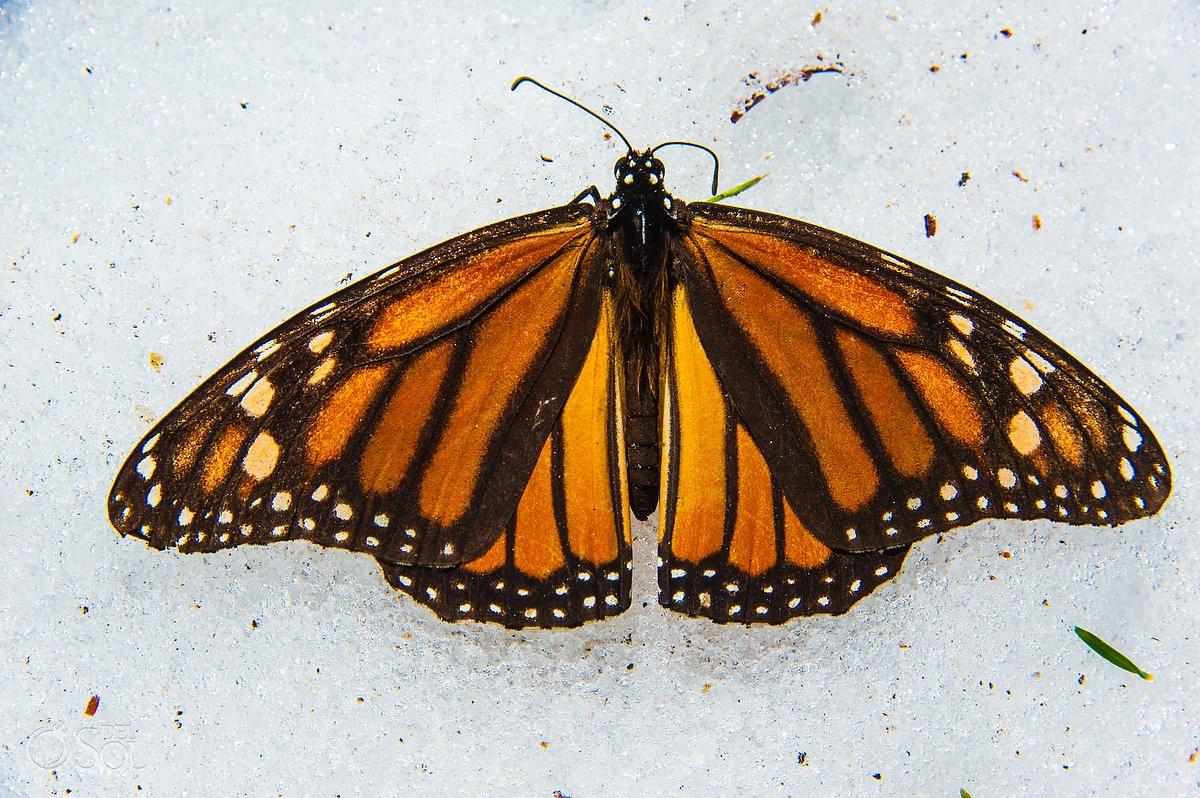 Monarch butterfly lying wings open snow Michoacan