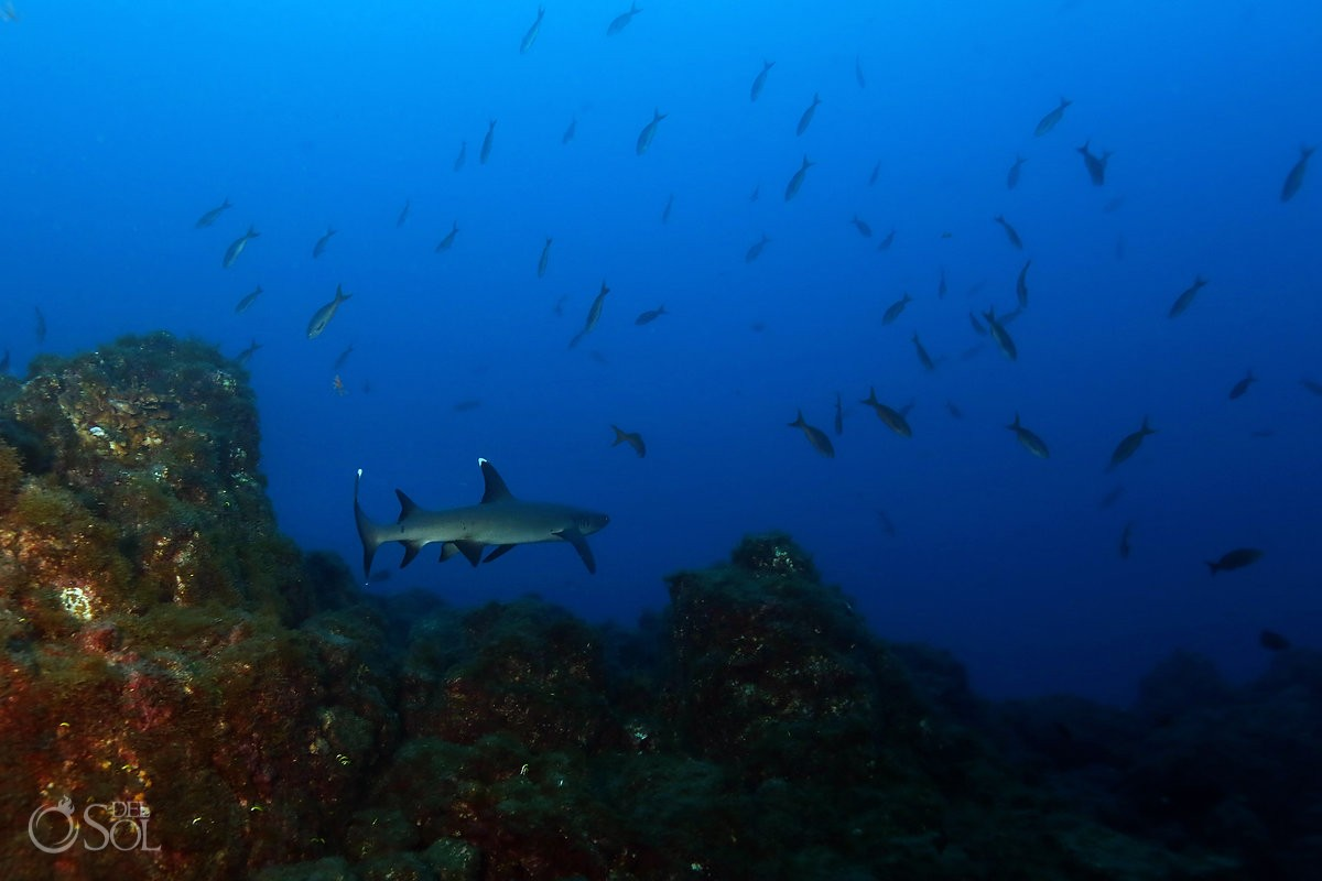 White tip shark swimming away over reef Diving live-aboard Socorro Revillagigedo Islands