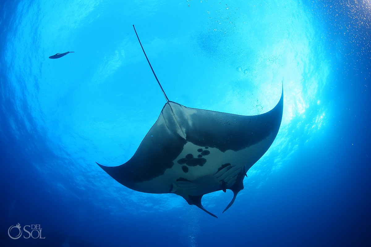 Giant manta Diving live-aboard Socorro Revillagigedo Islands