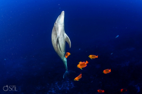dolphin swimming up orange Clarion Angelfish Diving live-aboard Socorro Revillagigedo Islands #Aworldofitsown