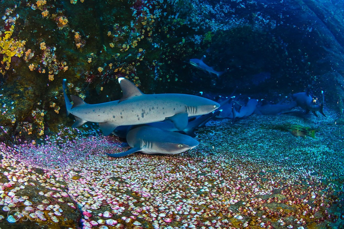 white tip reef sharks swimming Diving live-aboard Socorro Revillagigedo Islands
