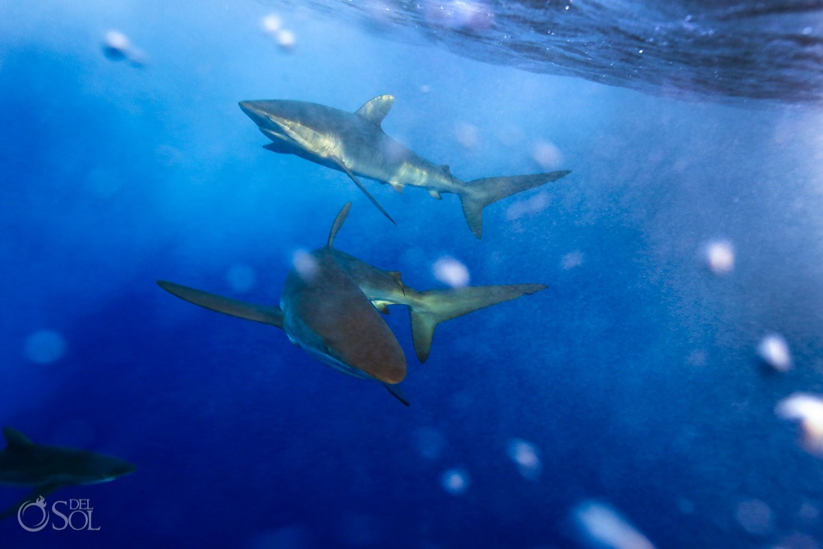 two Silky sharks swimming surface Diving live-aboard Socorro Revillagigedo Islands