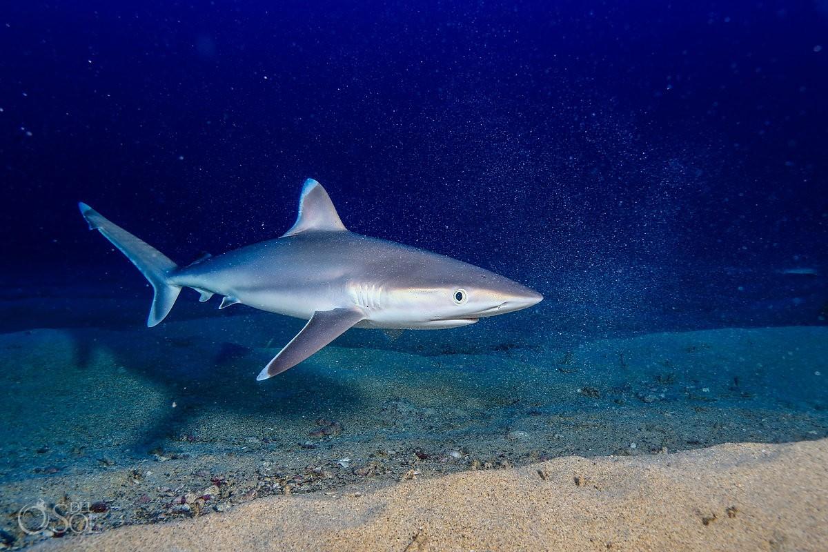 Silky shark swimming over sand Diving live-aboard Socorro Revillagigedo Islands