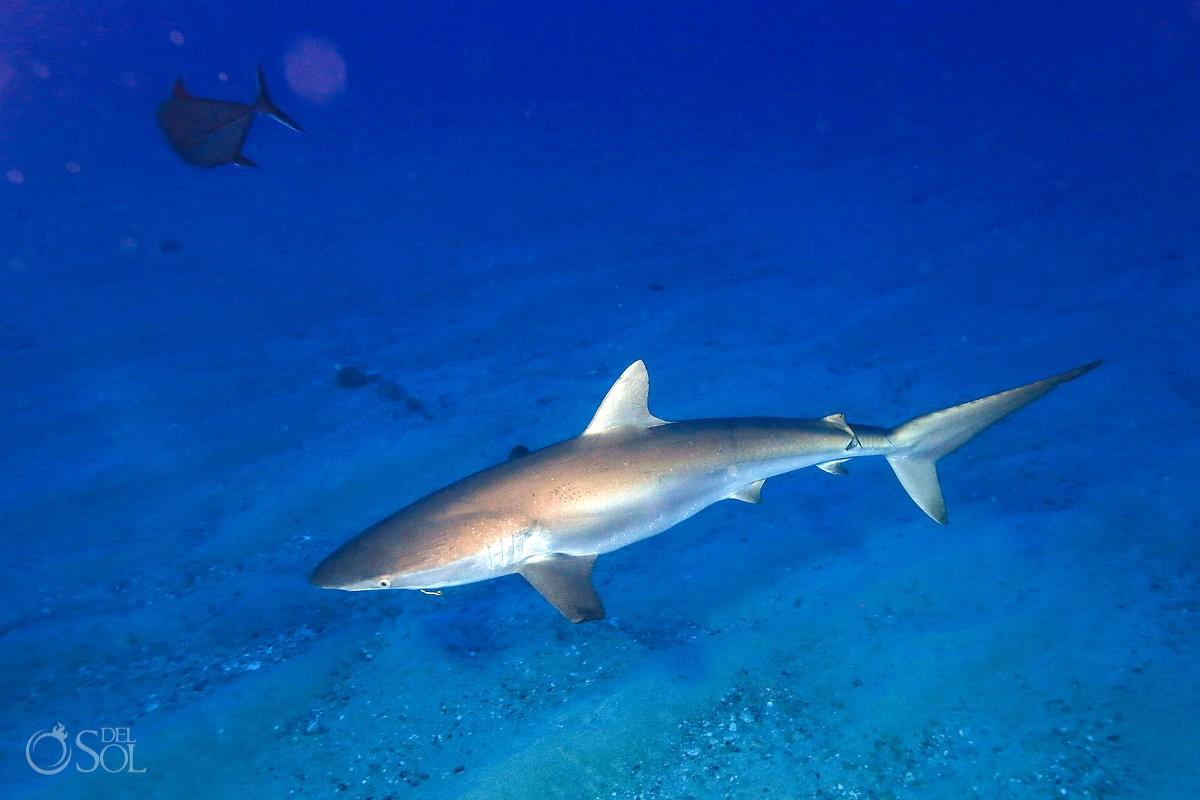 Silky shark Diving live-aboard Socorro Revillagigedo Islands