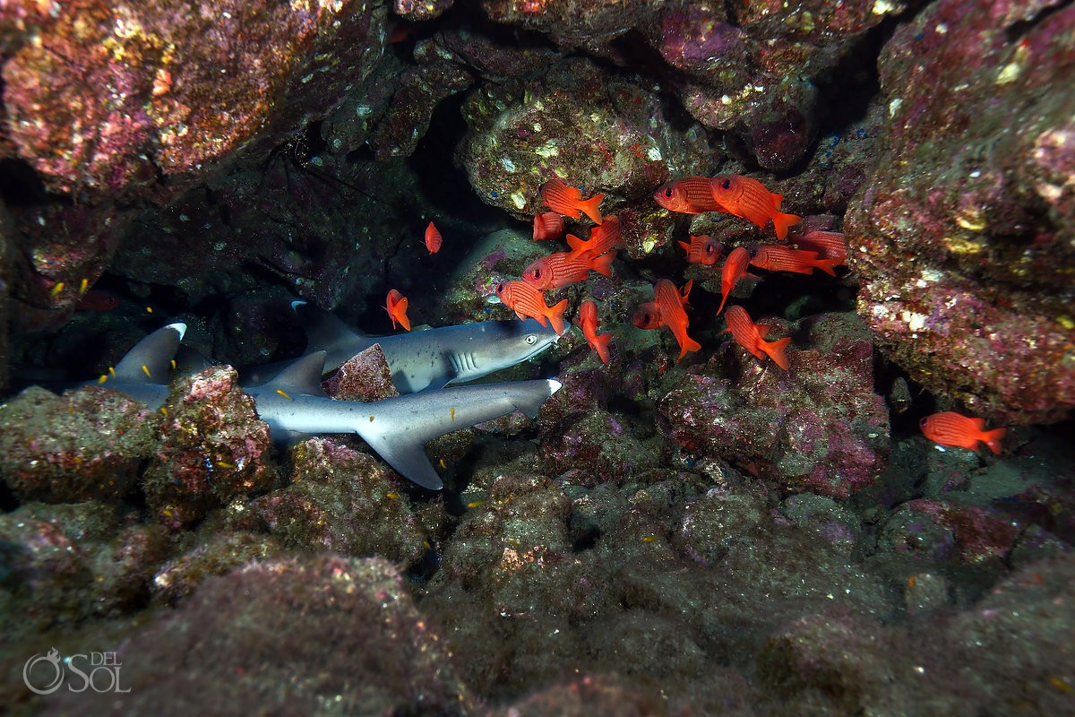 white tip reef sharks lying rocks Panamic soldierfish Diving live-aboard Socorro Revillagigedo Islands
