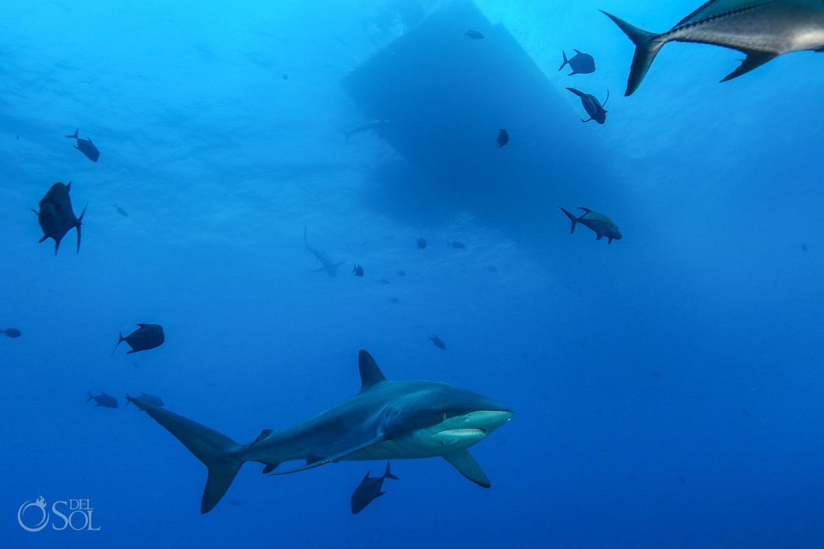 Silky shark underneath dive boat dinghy Diving live-aboard Socorro Revillagigedo Islands