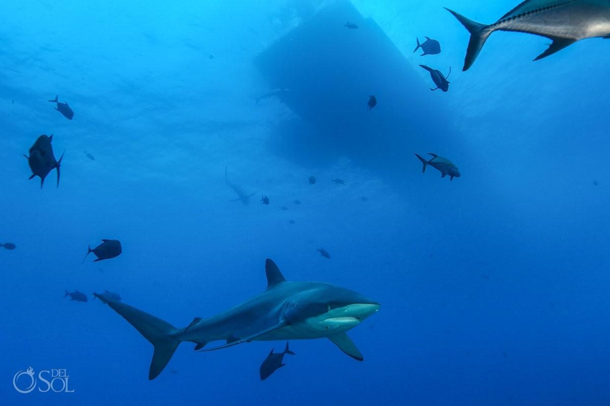 Silky shark underneath dive boat dinghy Diving live-aboard Socorro Revillagigedo Islands