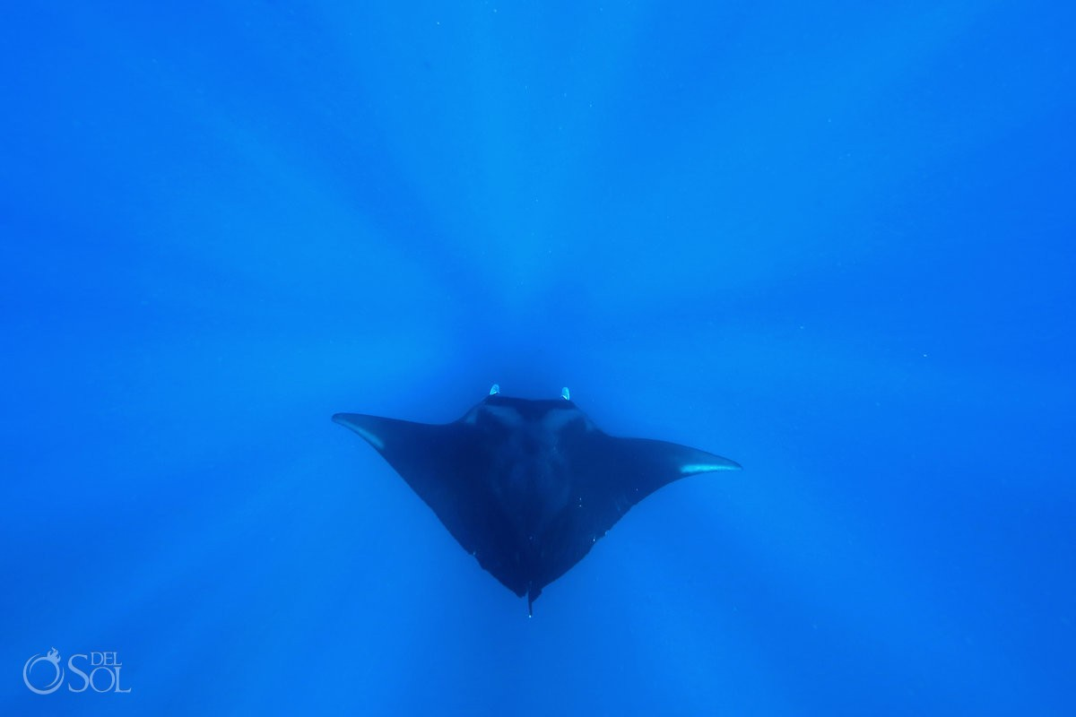 freediver with manta ray isla mujeres mexico