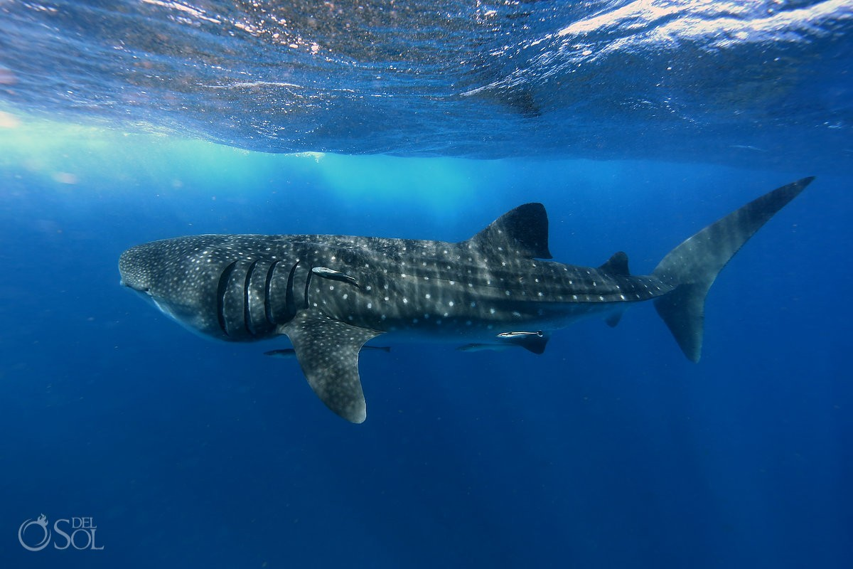 whaleshark tiburon ballena isla mujeres cancun mexico