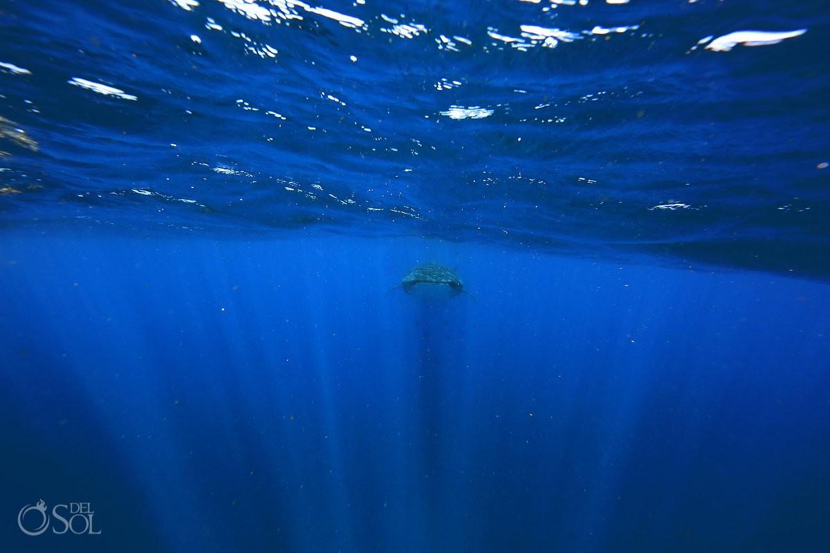 whaleshark tiburon ballena isla mujeres mexico