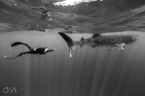 black and white free-diver Whale Shark Photography workshop Isla Mujeres Mexico #Aworldofitsown