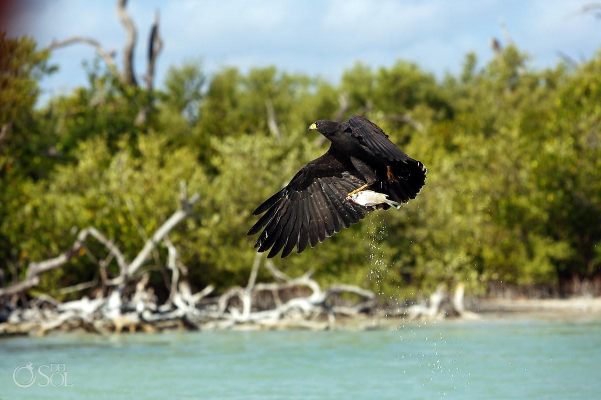 Black Hawk catching fish in Rio Lagartos Lagoon Yucatan Mexico