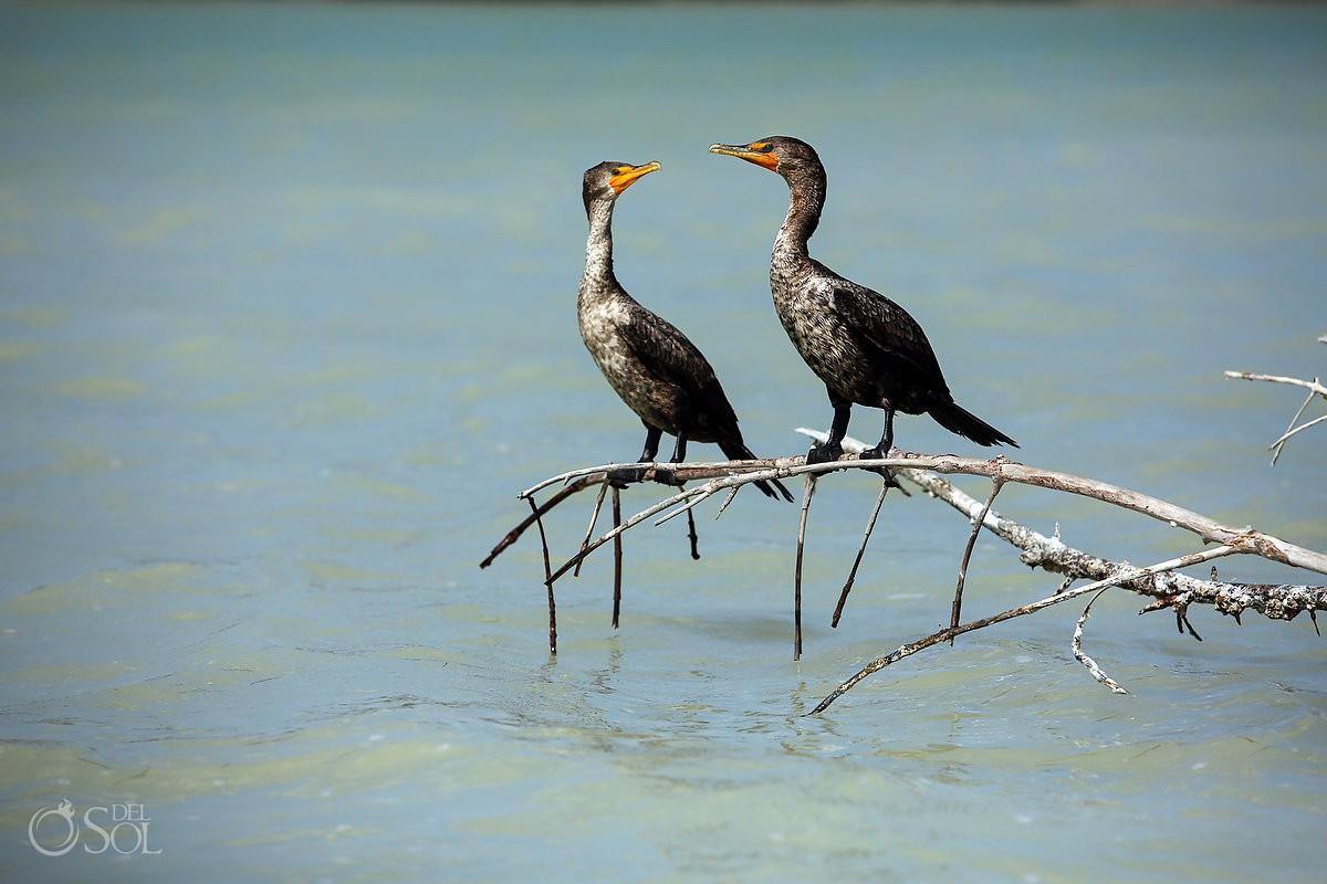 Cormorants in Rio Lagartos Yucatan Mexico