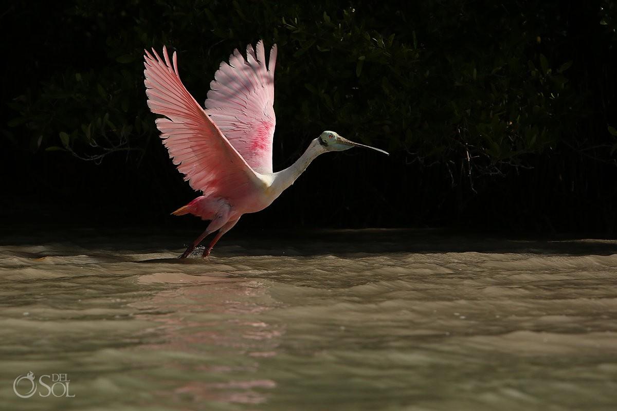 Rose colored Spoonbill in Rio Lagartos Mexico