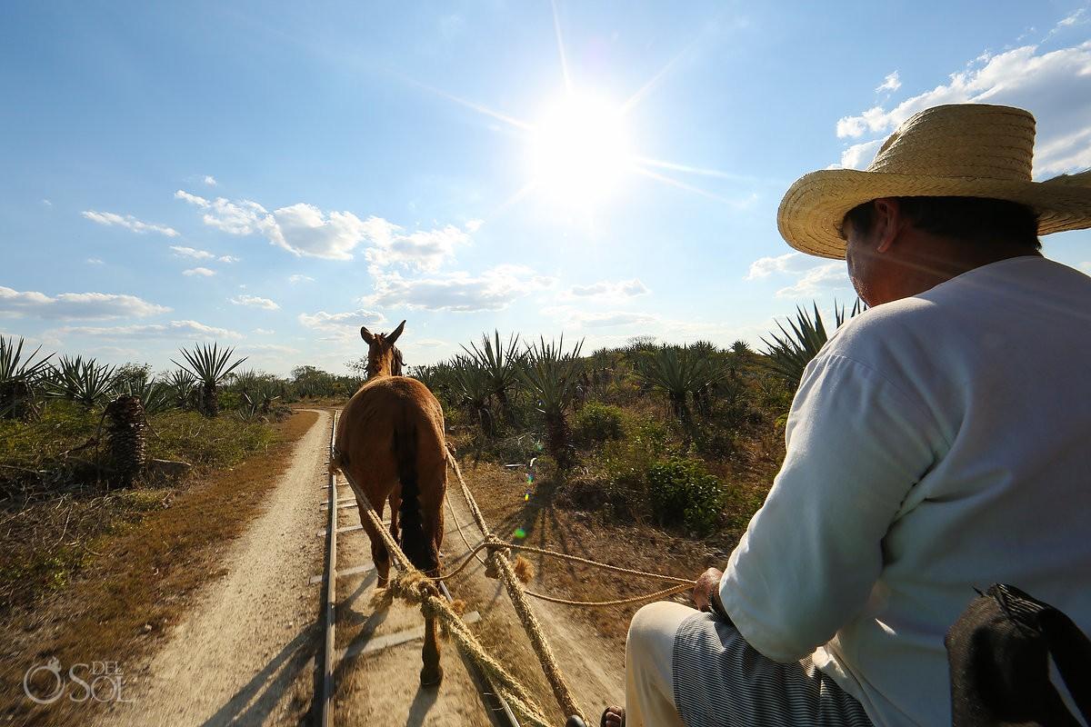 Agave farmer riding donkey wagon as workers prepare henequén - Green Fibre gold from hacienda Sotula de Peon Yucatan Mexico #ExperienciasInfinitas