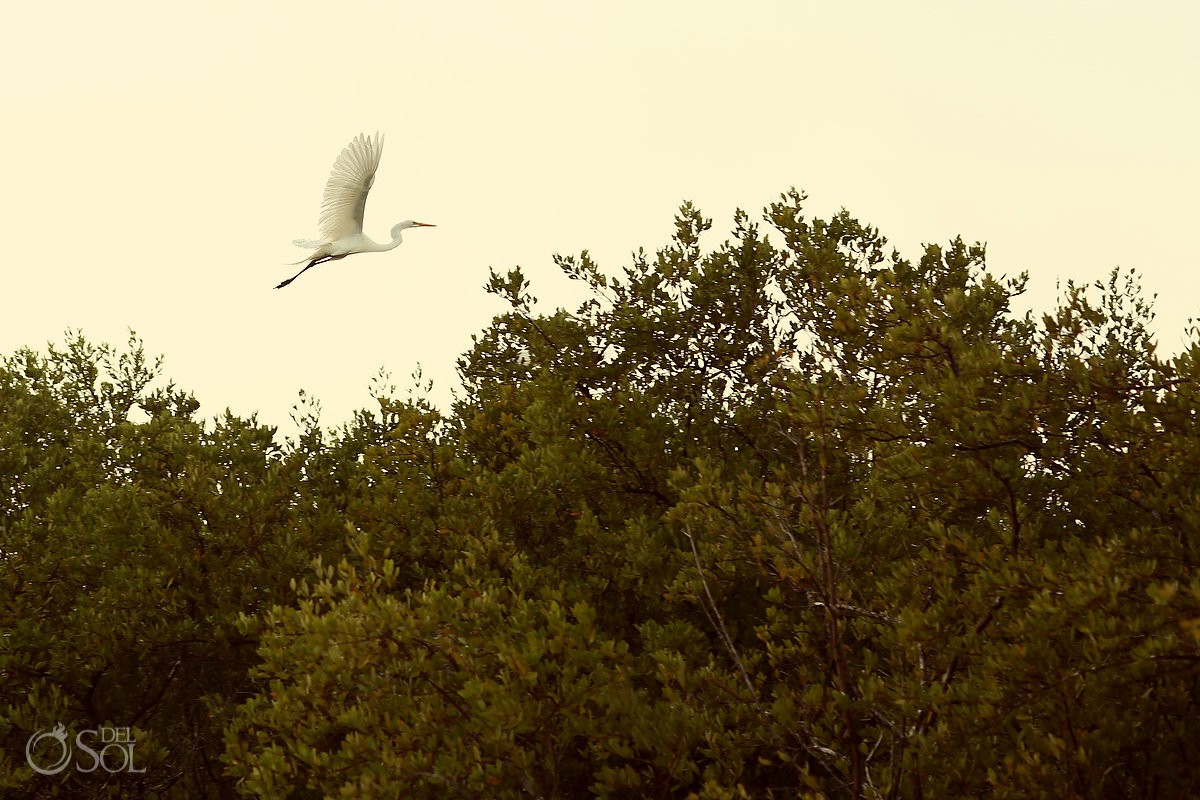 great egret white heron rio lagartos yucatan mexico pink romance adventure