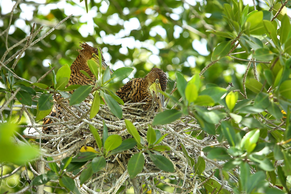 Rio Lagartos Tiger Heron Nest Yucatan Mexico #ExperienciasInfinitas