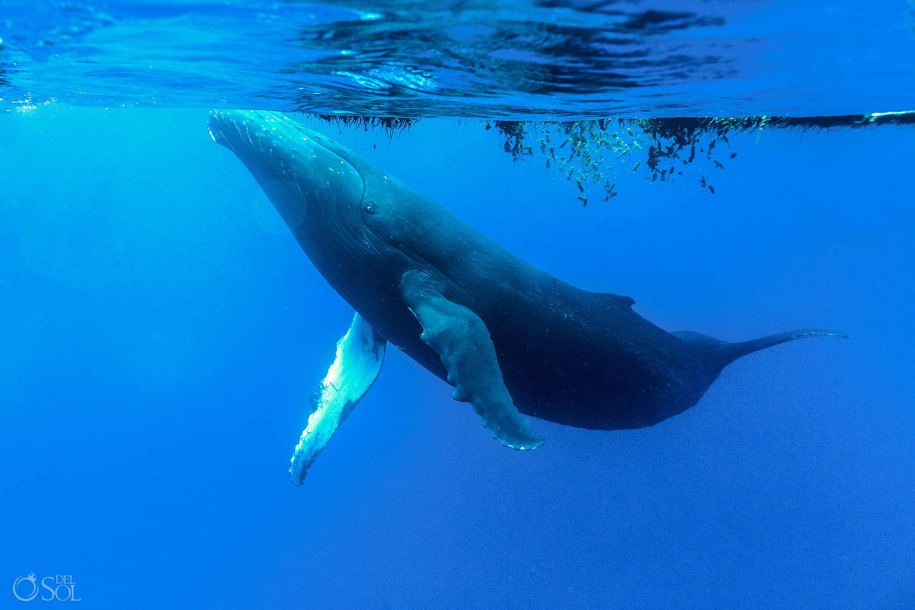 Humpback Whale Tahiti Underwater Photography