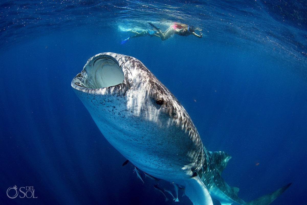 Yes to Mexico swimming with whale sharks in Isla Mujeres Mexico